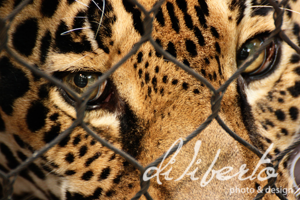 jaguar eyes close up by diliberto photo and design