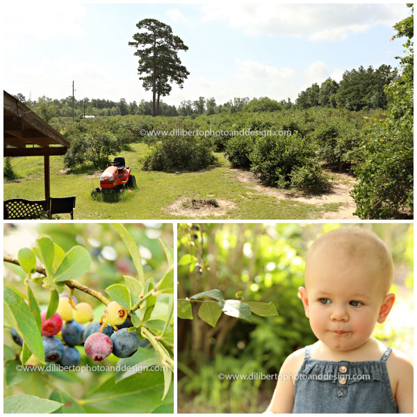 Blueberry picking in Conroe, TX Photographer